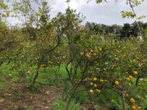 レモン谷のレモンの木